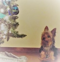 Jessica H. - Yorkshire Terrier Stud