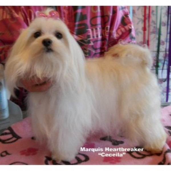 Marquis Maltese Maltese Breeder In Charleston West Virginia