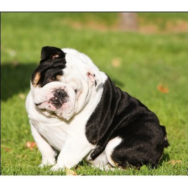 English Bulldog Stud 22444