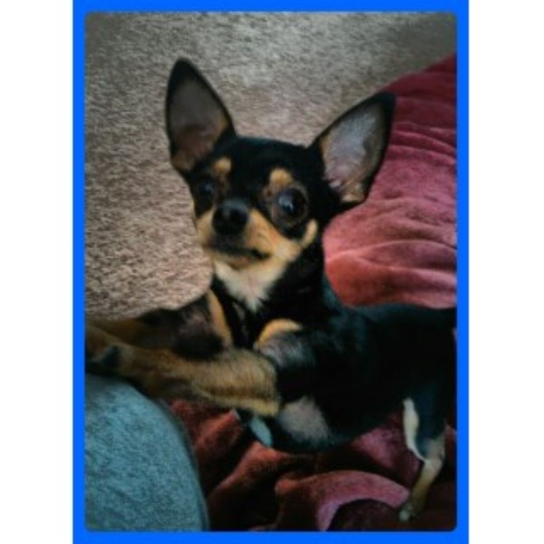 Chihuahua breeder Moultrie 24909