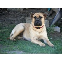 Whitehawk Bullmastiffs
