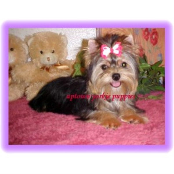 picture from Uptown Yorkie Puppies a Yorkshire Terrier breeder