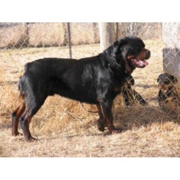 Rshardy Kennels, Rottweiler Breeder in Kikino, Alberta