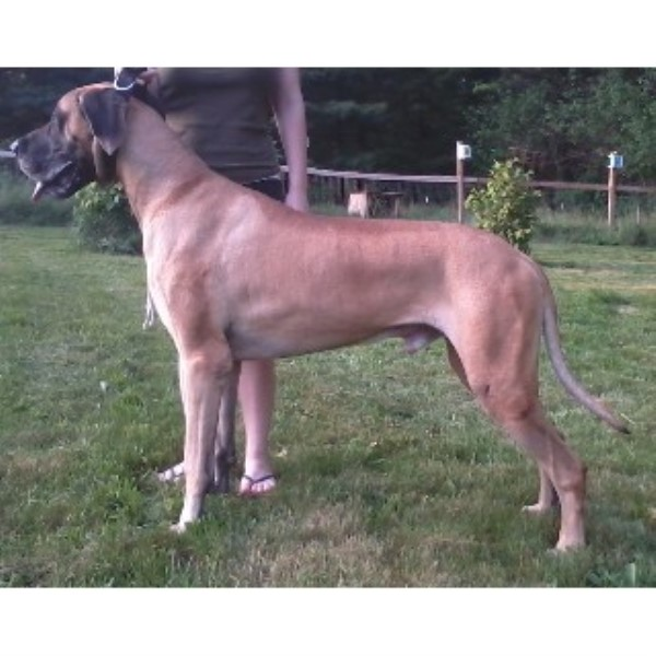 Great Dane breeder Mason 21720
