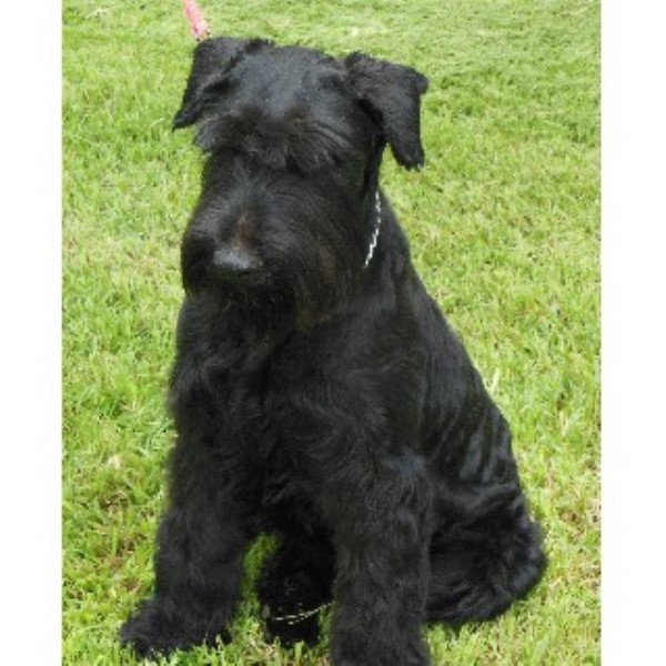 Giant schnauzer for sale texas
