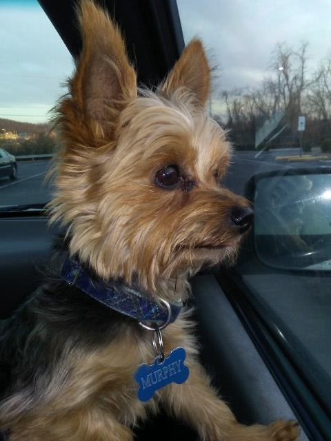 Rebecca Thompson Yorkshire Terrier Stud In Meherrin Virginia