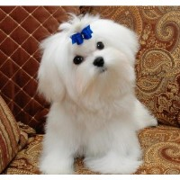 Maltese Breeders Virginia Beach
