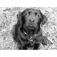 Grace Mountain Labradors