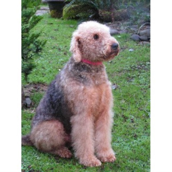 Alsea Oorang Airedales At Quot Solgaard Farms Quot Airedale Terrier Stud In Waldport Oregon