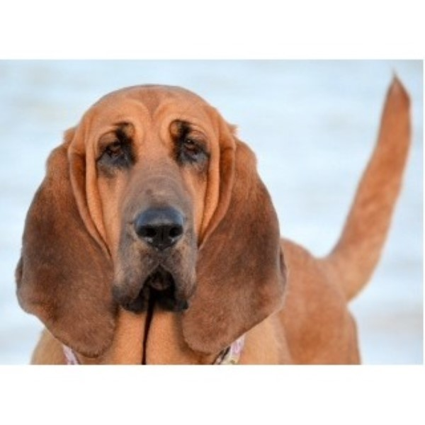 Caan Do Hounds Bloodhound Breeder In Plainview Texas