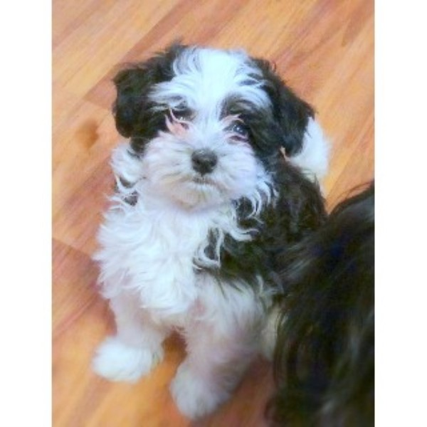 Clever Canines N Cement City Havanese Breeder In Cement