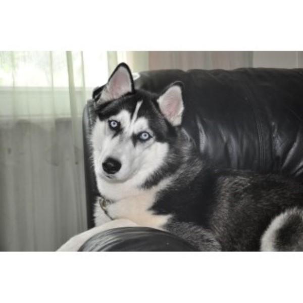 Pics Photos - Siberian Husky Breeders Page 6
