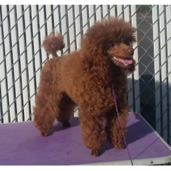 Michelle Poodle Miniature Stud In Sumner Washington