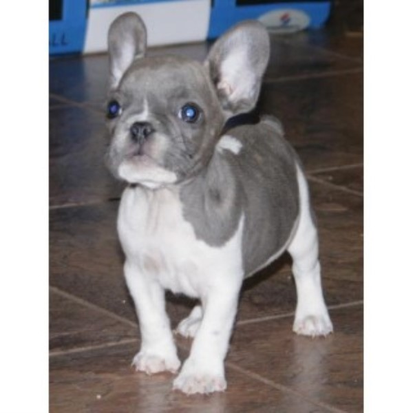 Bestfrenchbulldogpuppies French Bulldog Breeder In Knoxville Tennessee