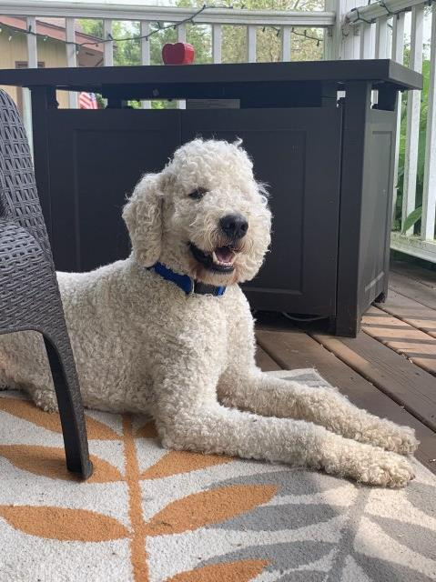 J Dean Goldendoodle Stud In Jackson Michigan