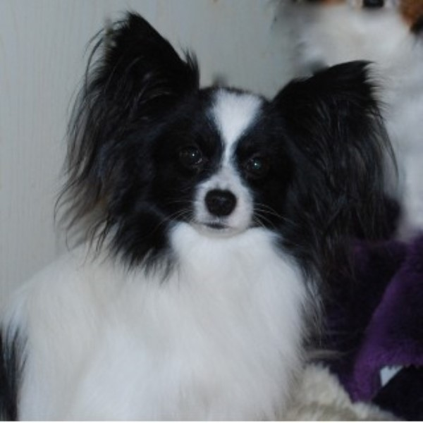 Papillon Dog Rescue Florida