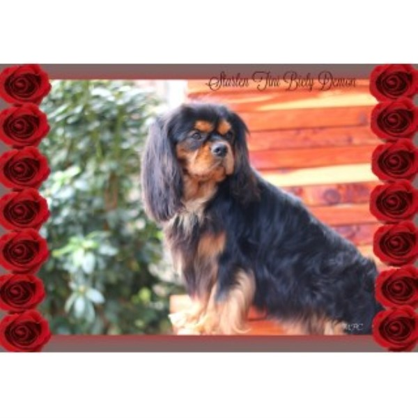 Cavalier King Charles Spaniel breeder Athens 25086