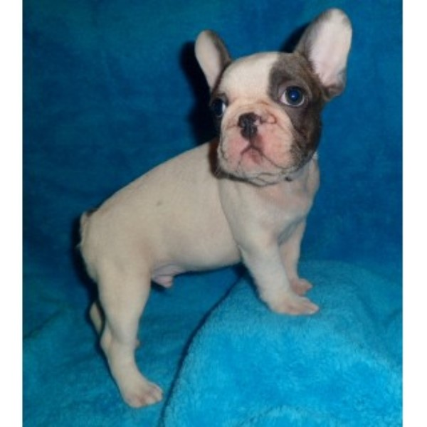 french bulldog tennessee bestfrenchbulldogpuppies french bulldog breeder in 3688