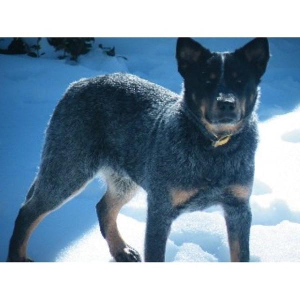 Whiteduck Heelers, Australian Cattle Dog Breeder in Scranton ...