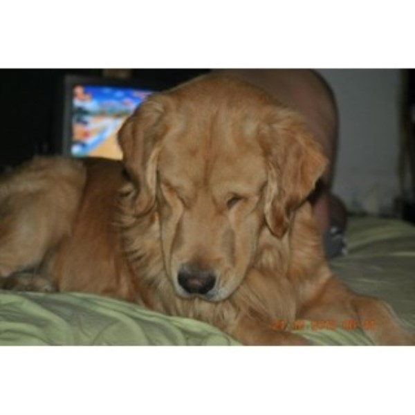 Golden Retriever breeder Fort Wayne 24873