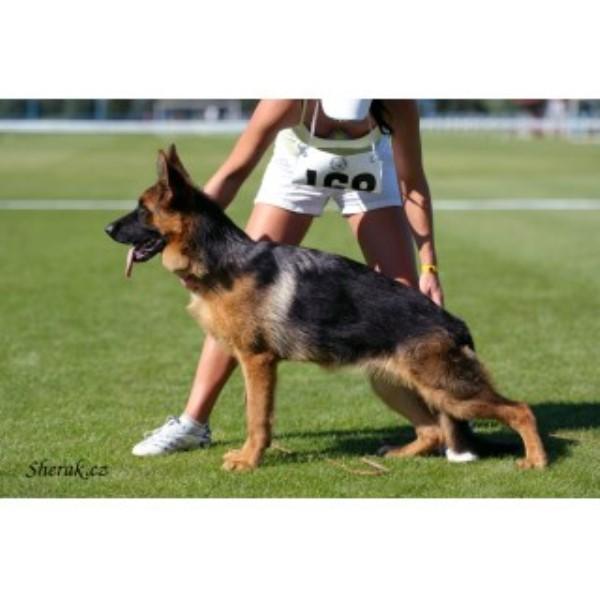 Big Red Texas German Shepherds Ranch German Shepherd Dog