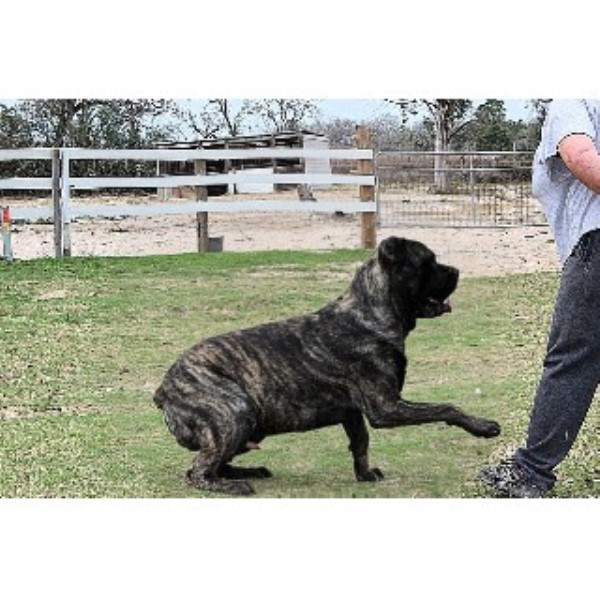 Guard Dogs For Sale In Texas