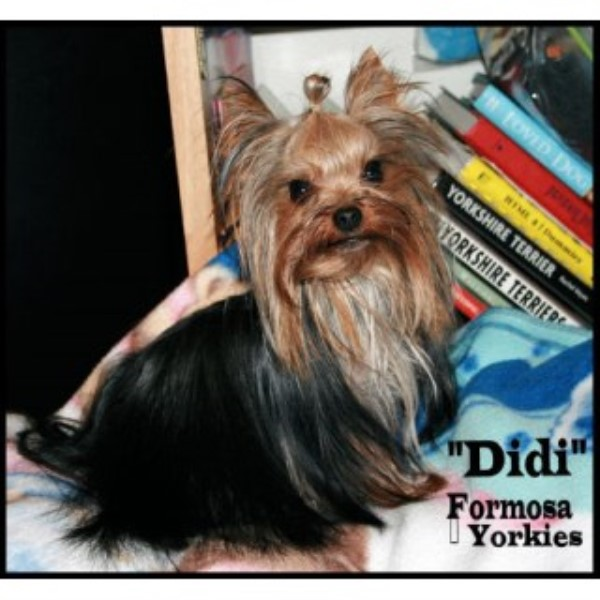 Yorkshire Terrier breeder Eugene 20294