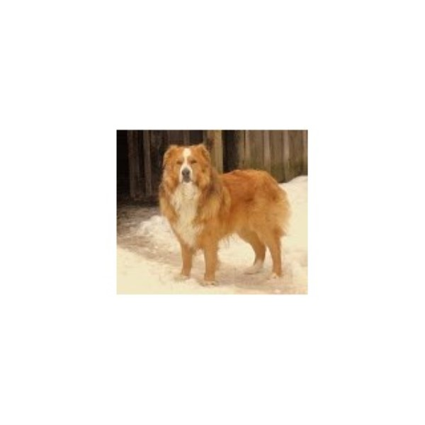English Shepherd breeder Hagaman 22513