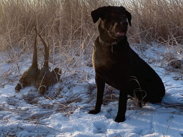 RRR Labrador Retrievers