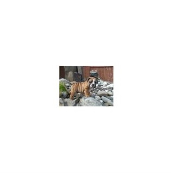 Top Dog Kennels English Bulldog Breeder In Granite Falls