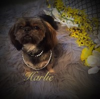 Fancy's Shih Tzu's