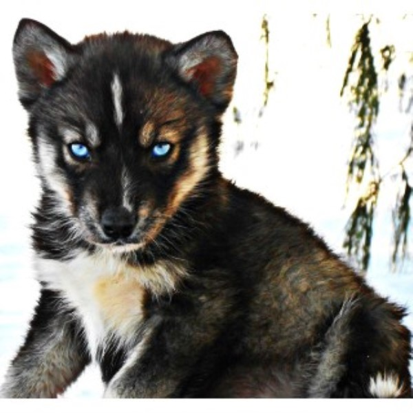 Happy K9 Kennel Siberian Husky Breeder In Junction City Ohio