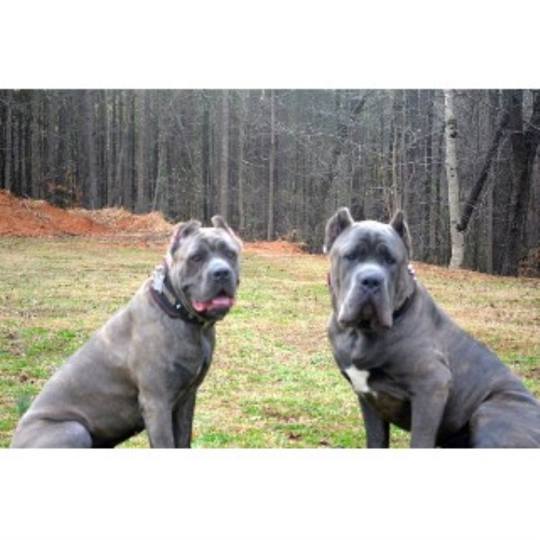 Hierarchy Kennel Cane Corso Breeder In Atlanta Georgia