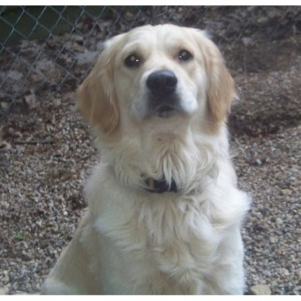 Golden Retriever breeder Center Ossipee 21697