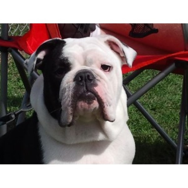 Bull Dog Grande English Bulldog Stud In Killeen Texas
