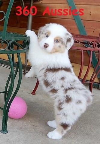360 AUSSIES - Australian Shepherd Puppies - AKC / ASCA