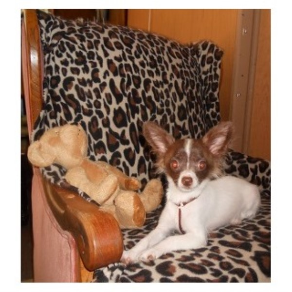 Chihuahua Breeders in Washington | FreeDogListings