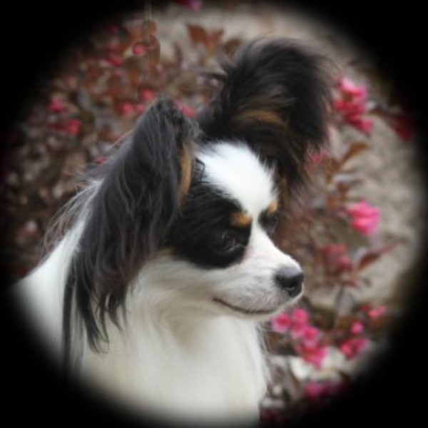 Papillon Breeders in Michigan