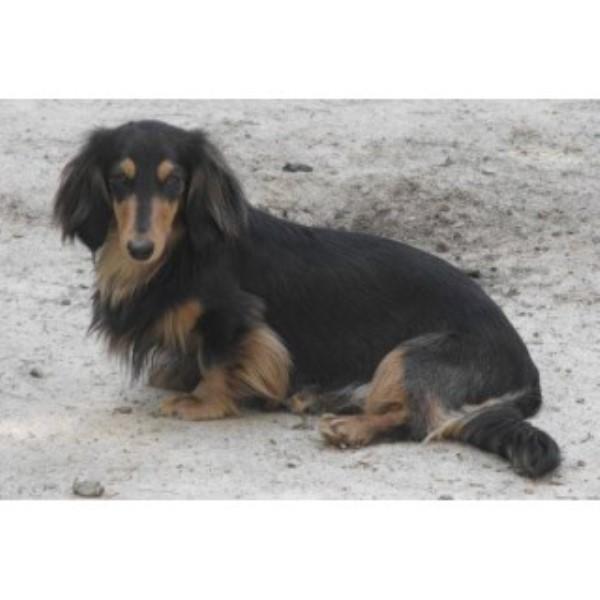 Bow Ks Dachshunds Dachshund Breeder In Vero Beach Florida