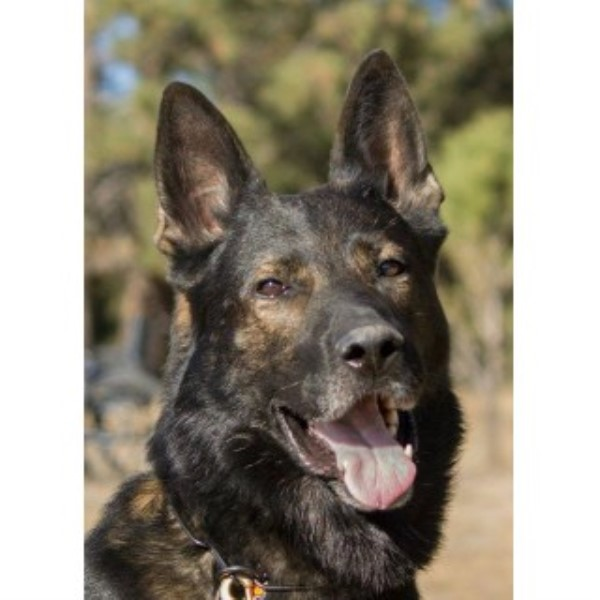 Von Alpenmac German Shepherds German Shepherd Dog Stud In Colorado Springs Colorado