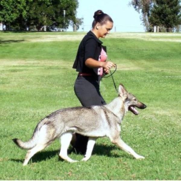 Bellevue German Shepherds German Shepherd Dog Breeder In