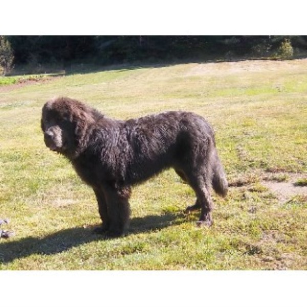 Newfoundland Dog Rescue Illinois