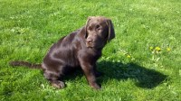 Treasure Keeper Labradors