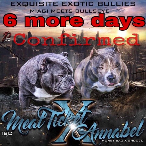 Exquisite Exotic Bullies, American Pit Bull Terrier Breeder in