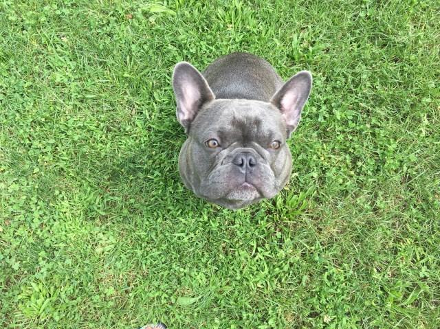 Trish Moss French Bulldog Stud In Seymour Indiana