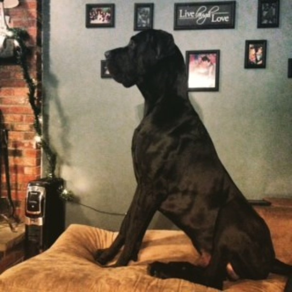 Great Dane breeder Plymouth 22565