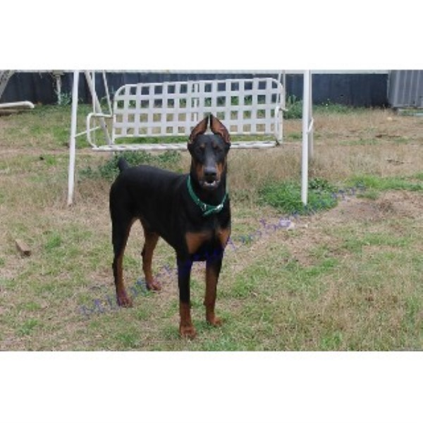 Doberman Pinscher breeder in Phenix City, Alabama