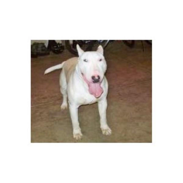 Best Bull Terriers, Bull Terrier Breeder in Rochester, New York