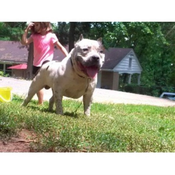 American Pit Bull Terrier breeder Lexington 22316