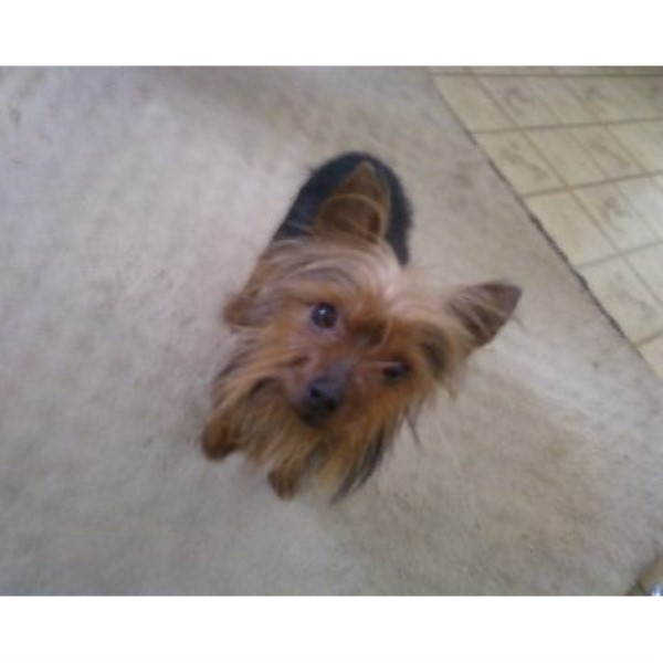 Yorkshire Terrier breeder New Haven 22068